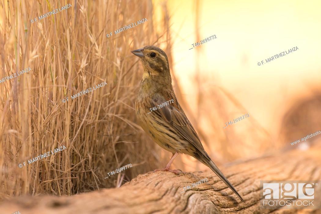 Stock Photo: Cirl Bunting (Emberiza cirlus). Photographed in Motilla del Palancar.