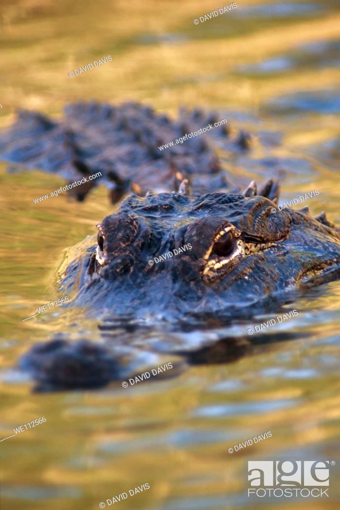 Stock Photo: American Alligator Alligator mississippiensis mississippiensis in the Everglades National Park, United States.