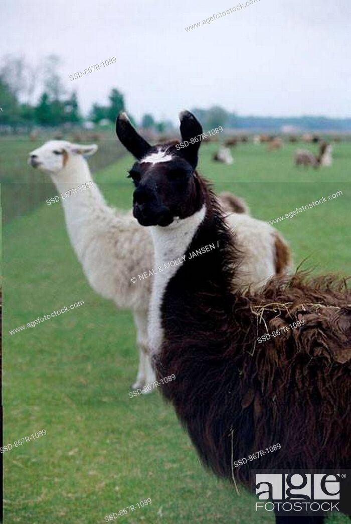 Stock Photo: Llamas in a field.