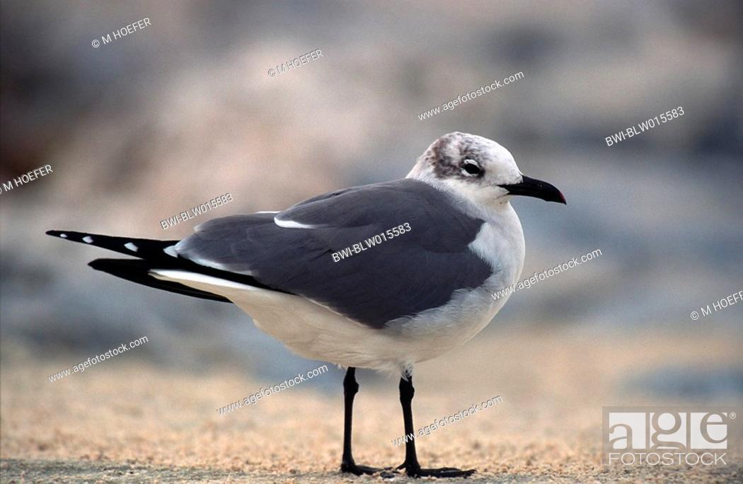 Imagen: laughing gull Larus atricilla, Jan 96.