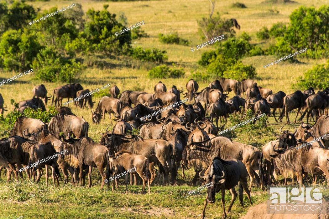 Stock Photo: Herd of wildebeest. Masai Mara NP.