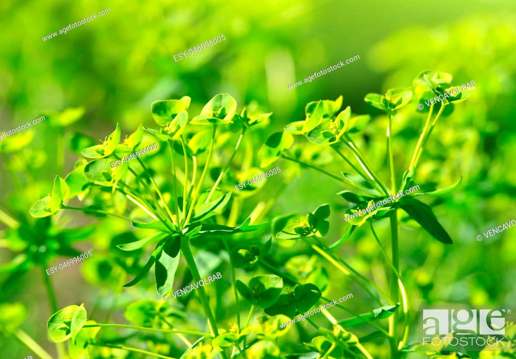 Stock Photo: Blooming Cypress spurge (Euphorbia cyparissias) close up.