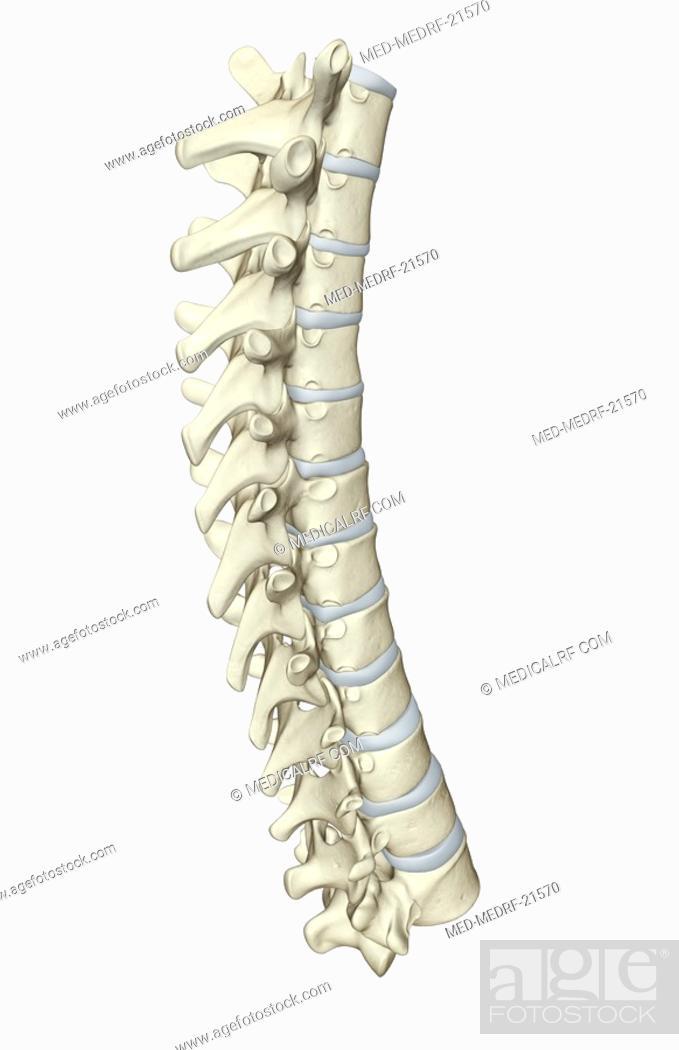 Stock Photo: The vertebral column.