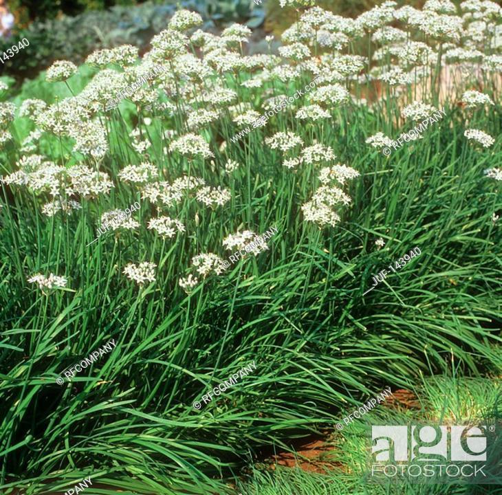 Stock Photo: Garlic chives.