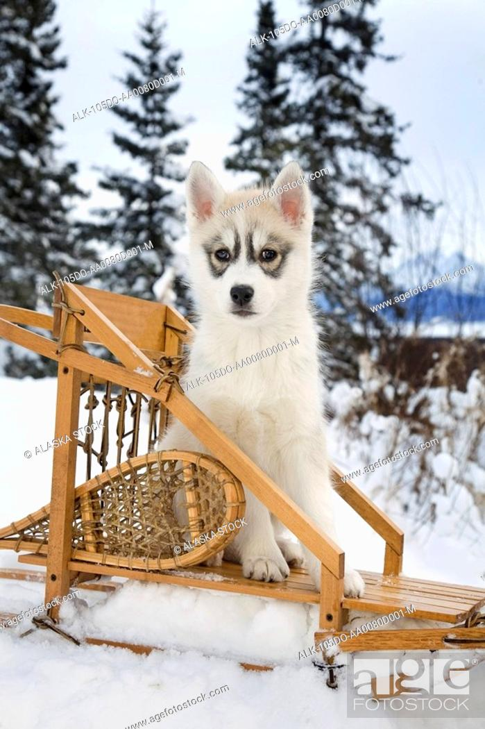 Stock Photo: Siberian Husky puppy sits in dog sled in snow Alaska.