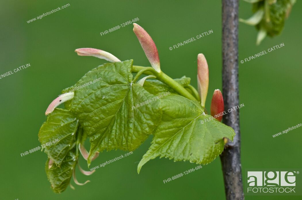 Stock Photo: Small-leaved Lime, Tilia cordata, young leaves and bracts on a tree in spring, April.
