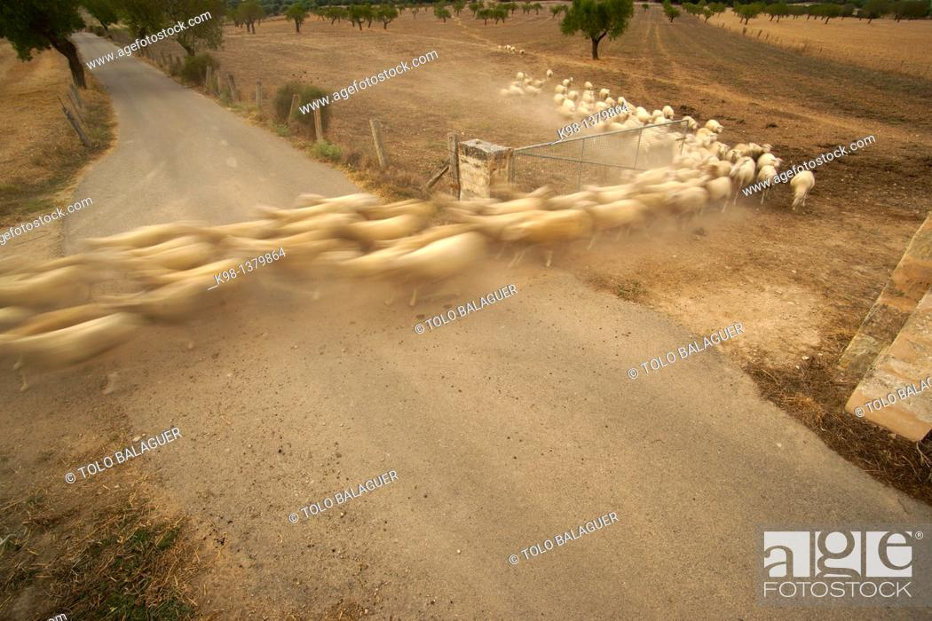 Stock Photo: Flock of Sheep, Son Brondo Lloret de Vistalegre, Es Pla, Mallorca Illes Balears Spain.