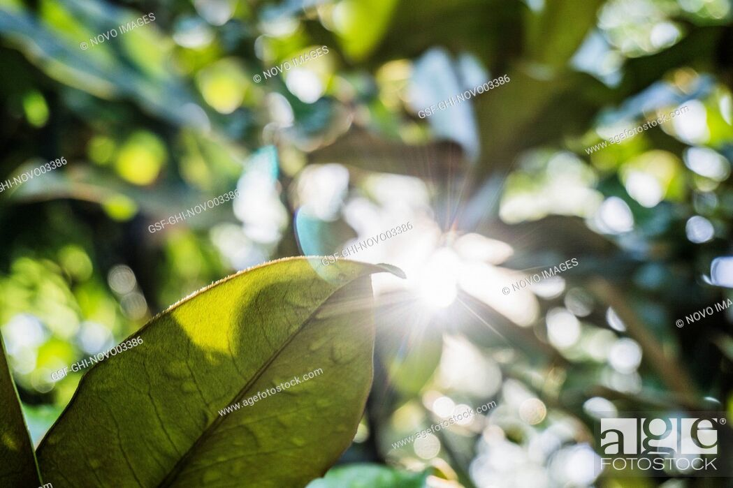 Stock Photo: Low Angle View of Sun Flare Through Magnolia Trees.