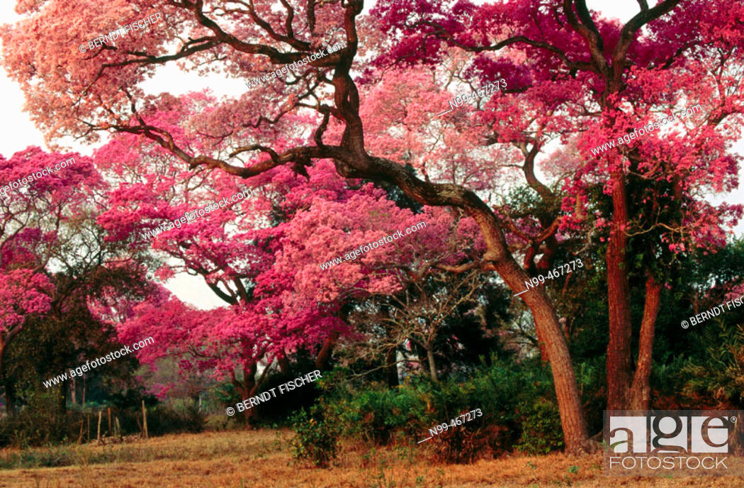 Pink trumpet trees in flower dry pasture with trees type of stock photo pink trumpet trees in flower dry pasture with trees type of landscape like savannah or park pantanal near pocone mato grosso brazil mightylinksfo