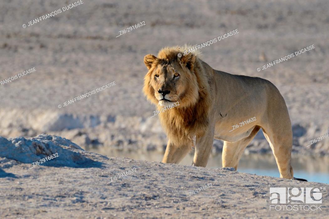 Stock Photo: African lion (Panthera leo) standing at a waterhole, Etosha National Park, Namibia, Africa.