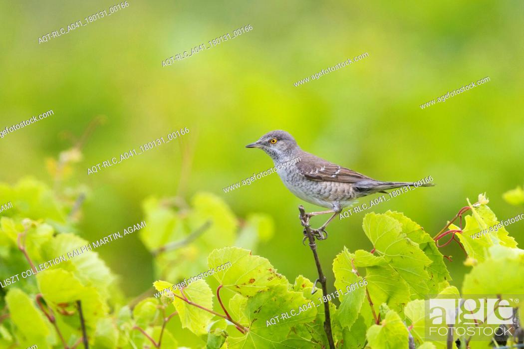 Stock Photo: Barred Warbler, Sylvia nisoria.