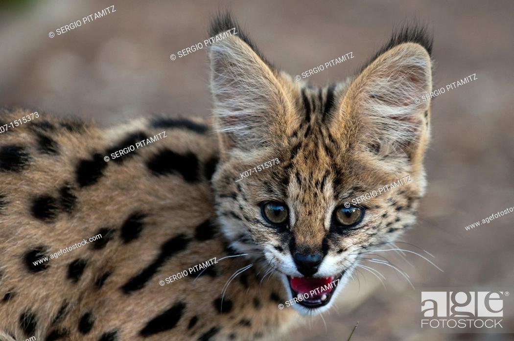 Stock Photo: Young Serval Cat Felis serval, Captive, Hoedspruit Endangered Species Centre, Kapama Game Reserve, South Africa.