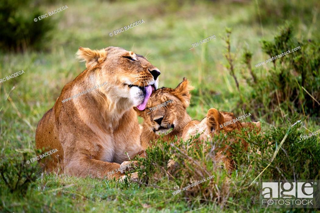 Stock Photo: Lion (Panthera leo) mother licking cub. Masai Mara National Reserve, Kenya.