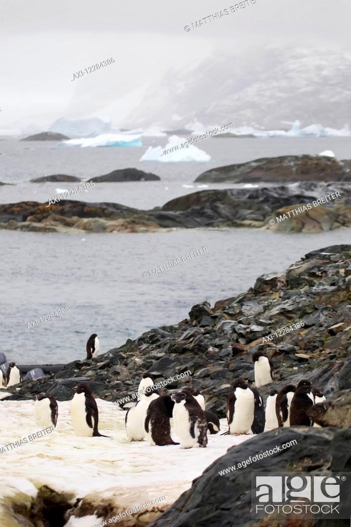 Stock Photo: Adelie penguins (Pygoscelis adeliae) on Pleneau Island, Antarctic Peninsula; Antarctica.