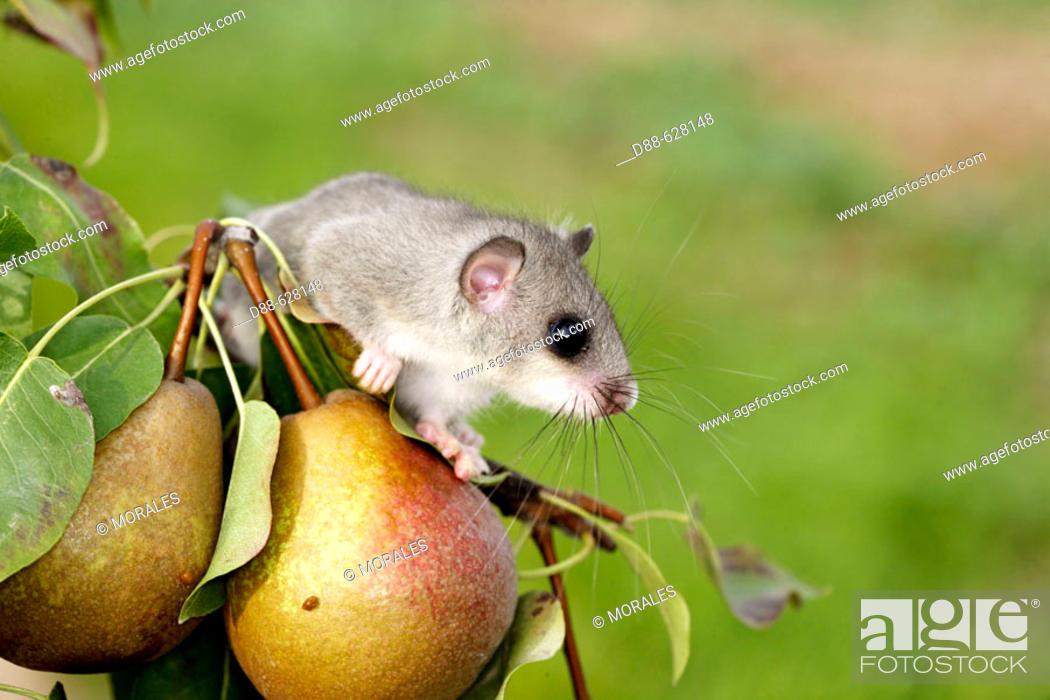 Stock Photo: Fat Dormouse (Myoxus glis) on Pear tree.