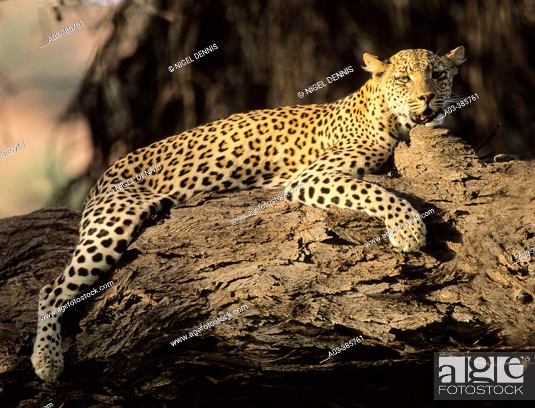 Stock Photo: Leopard (Panthera pardus) resting in tree. Kgalagadi Transfrontier Park. Kalahari, South Africa.