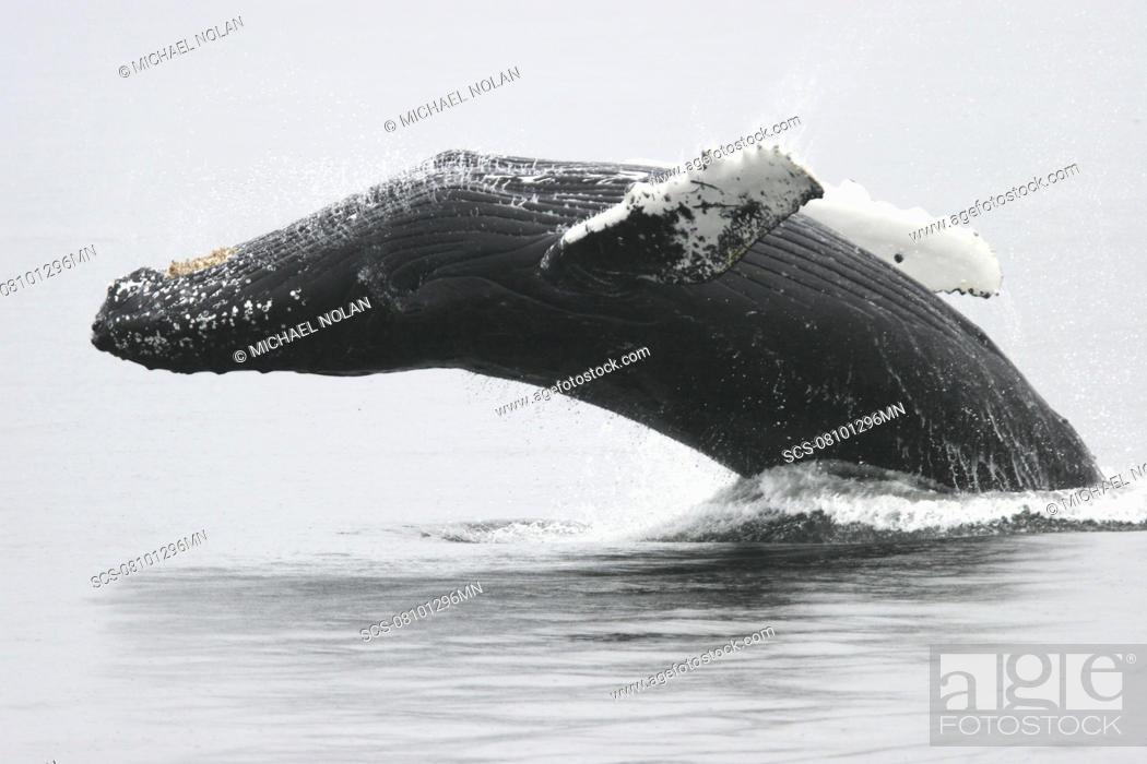 Stock Photo: Adult humpback Whale Megaptera novaeangliae breaching near the Five Fingers Island Group in Southeast Alaska, USA Pacific Ocean.