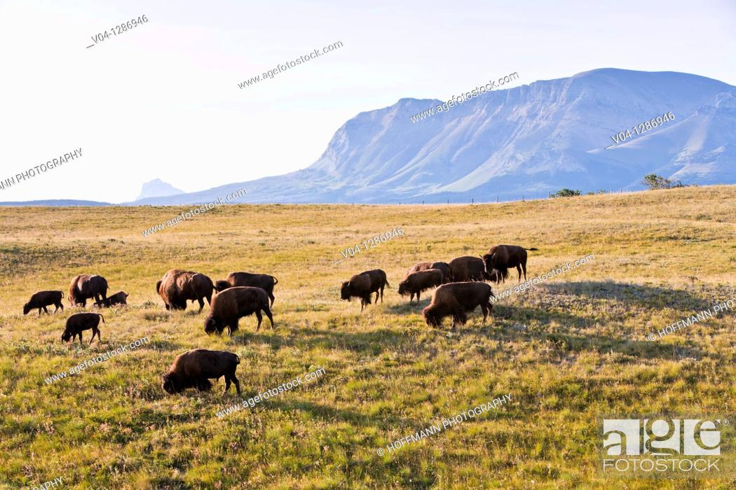 Stock Photo: A herd of grazing buffalos in Alberta, Canada.