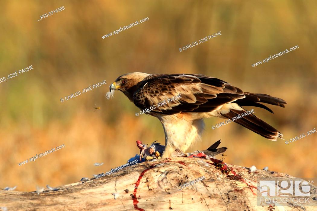 Imagen: Male Booted eagle (Hieraaetus pennatus) with prey at dawn. Monfrague National Park, Extremadura, Spain.