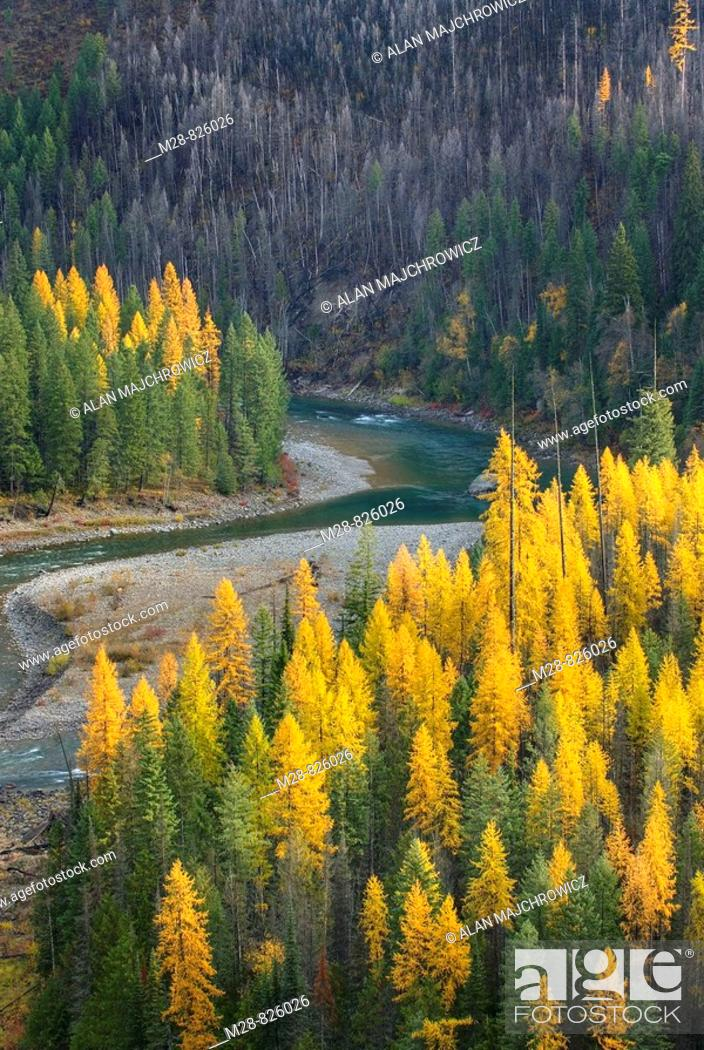 Stock Photo: Forests of Western Larch Larix occidentalis and the North Fork Flathead River, Flathead National Forest Montana USA.