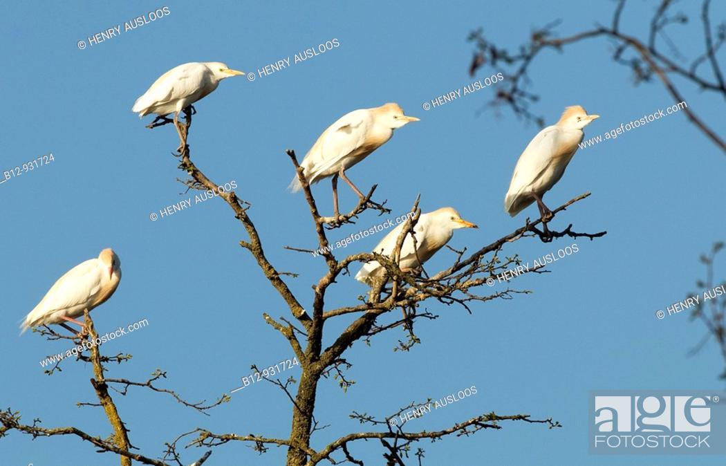 Stock Photo: Cattle Egret (Bubulcus ibis).