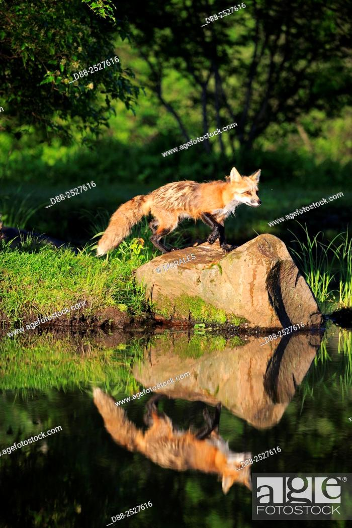 Stock Photo: United States, Minnesota, Red Fox Vulpes vulpesadult near by the water.