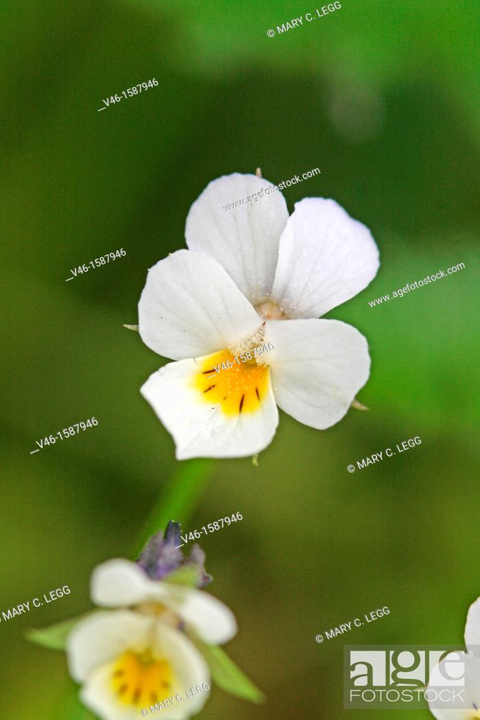 Viola kitaibeliana in flower radlice czech republic miniature small stock photo viola kitaibeliana in flower radlice czech republic miniature small white violet with yellow center and purple markings mightylinksfo Image collections