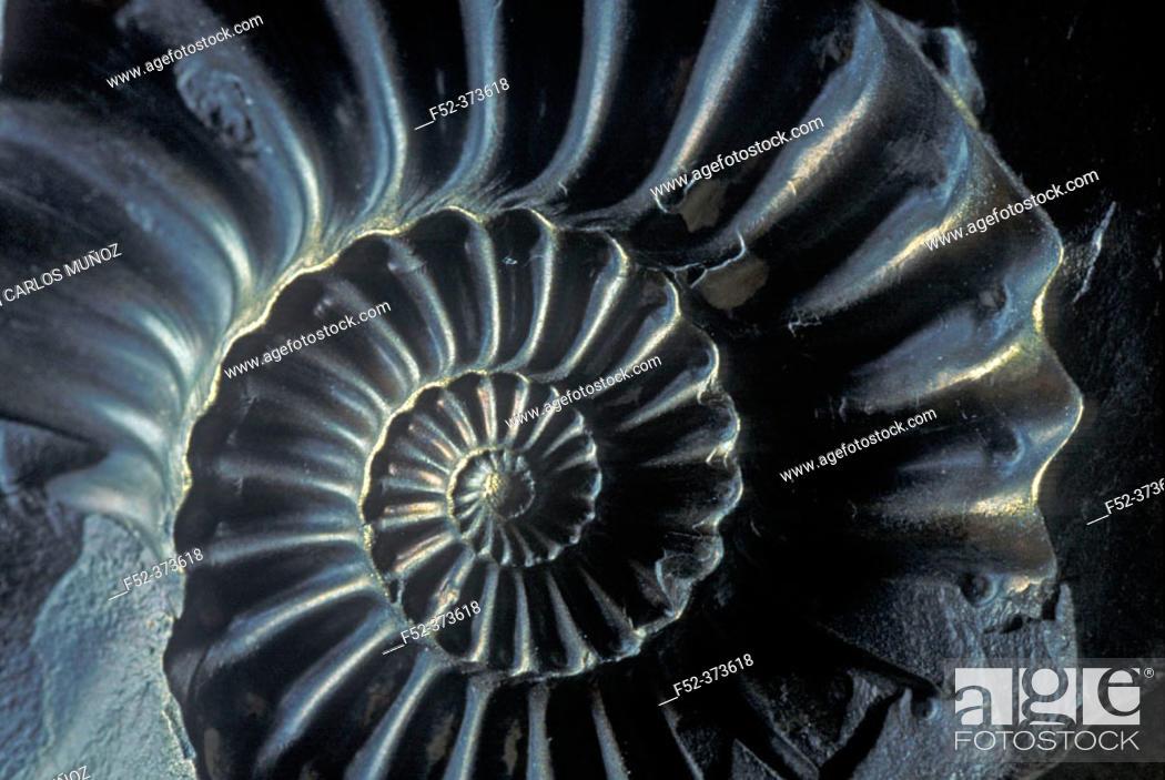 Stock Photo: Ammonite fossil. Jurassic.