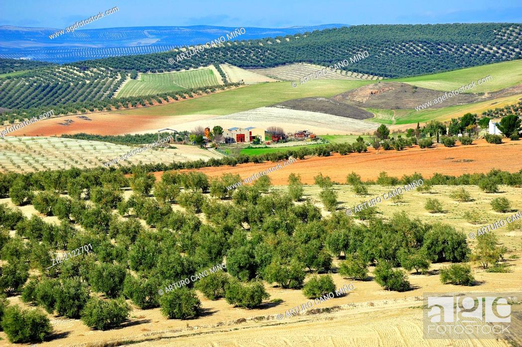 Stock Photo: Olive grove near Baeza, Jaen, Spain.