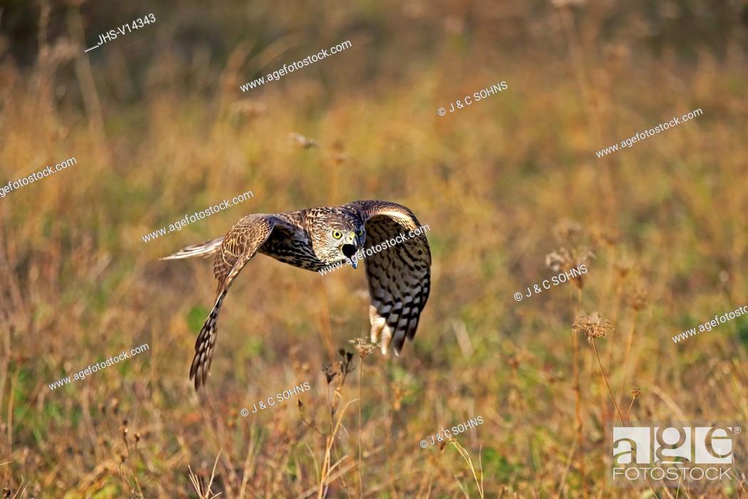 Stock Photo: Common Buzzard, (Buteo buteo), adult flying calling, Rimavska Sobota, Slovak Republic, Europe.