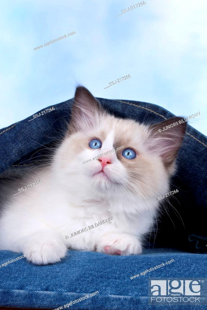 Stock Photo: Ragdoll. Kitten lying in a denim jacket. Germany.
