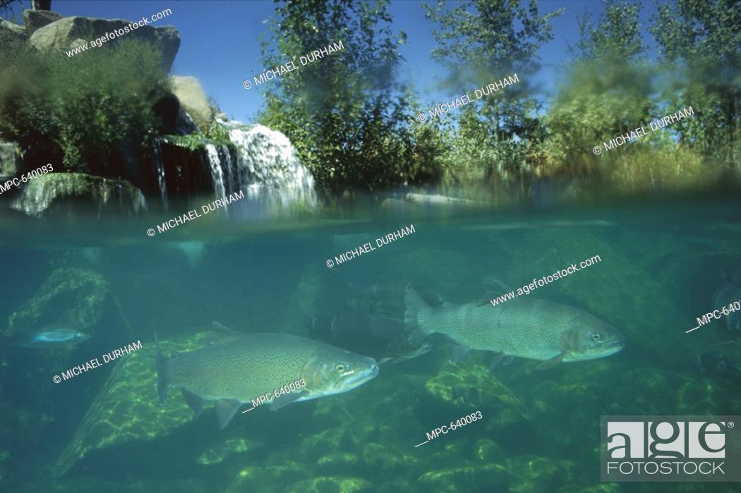 Rainbow Trout Salmo gairdneri, swimming underwater, North