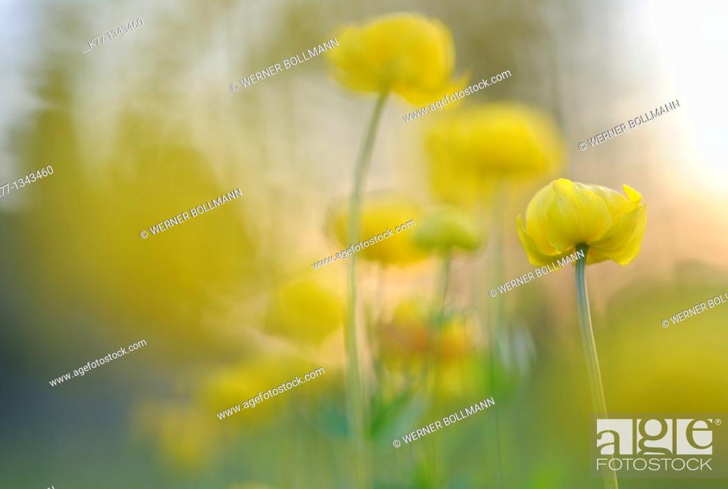 Stock Photo: Globe Flower (Trollius europaeus), Finland, June 2010.