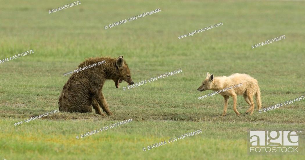 Stock Photo: Golden Jackal boldly keeping Hyena from going to its den, Ngorongoro Crater, Tanzania.