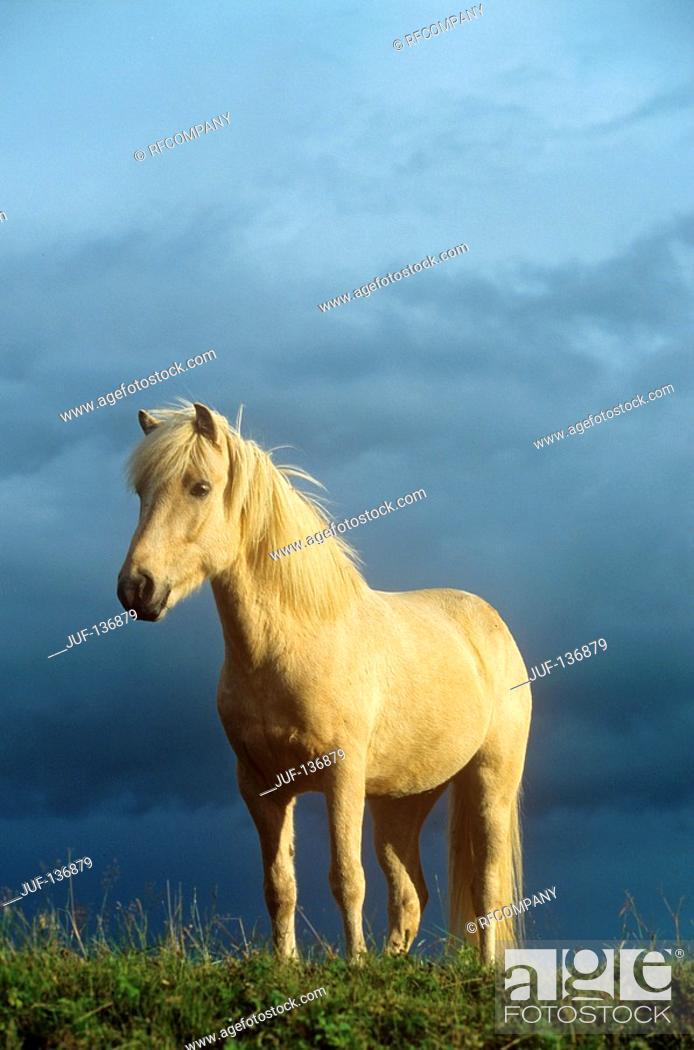 Stock Photo: Icelandic horse - standing on meadow.