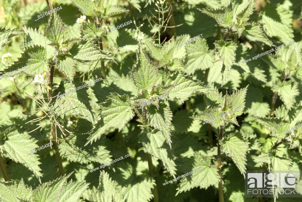 Stock Photo: NETTLE.