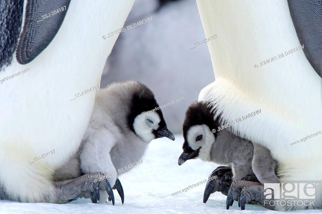Stock Photo: Emperor Penguin (Aptenodytes forsteri). Chicks on the feet of parent birds. Snow Hill Island, Antarctica.