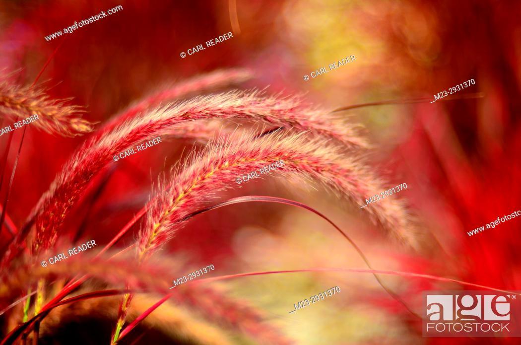 Stock Photo: Red ornamental grass in soft-focus, Pennsylvania, USA.