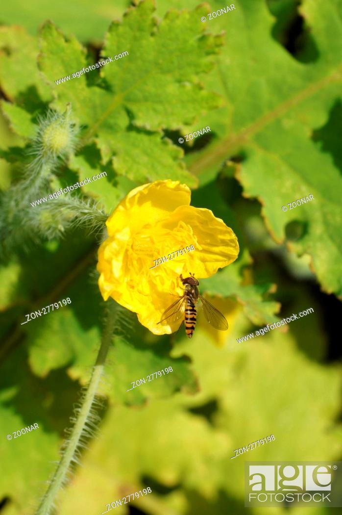 Stock Photo: Blüte mit Schwebfliege.