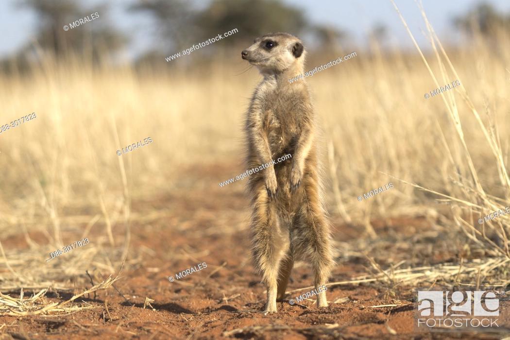 Stock Photo: Africa, Southern Africa, South African Republic, Kalahari Desert, Meerkat or suricate (Suricata suricatta), adult.