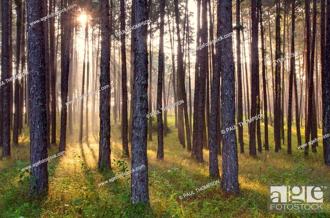 Stock Photo: Hill Evergreen Pine Forest at dawn at the summit of Doi Mae Ho or Mae Haw in the Mae Sariang district of Mae Hong Son Province, Thailand.