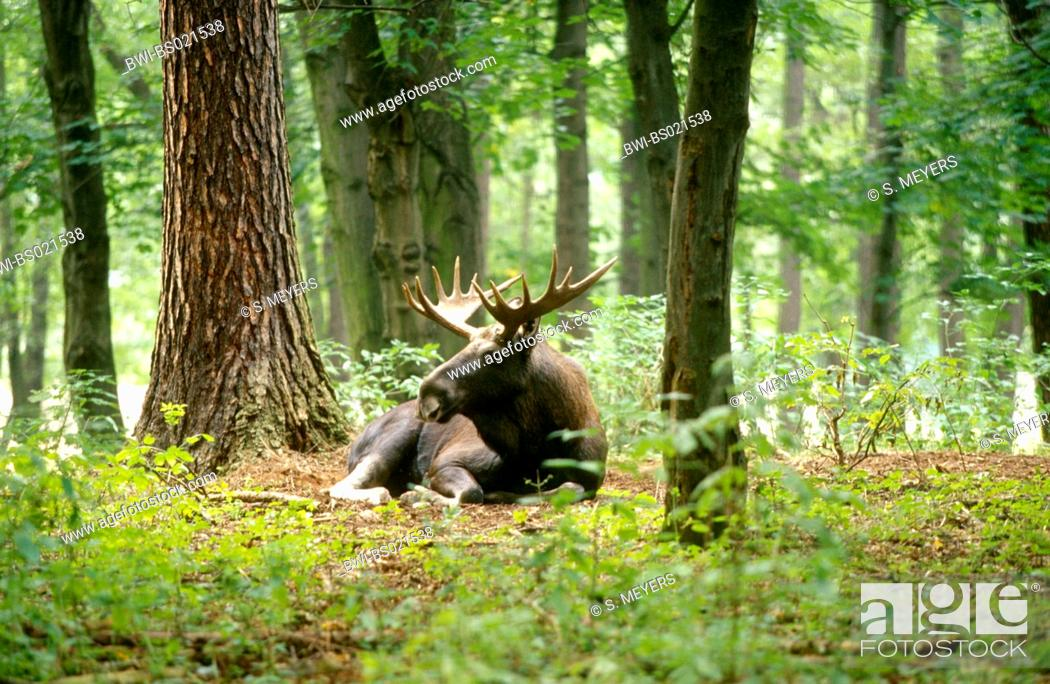 Stock Photo: elk, European moose (Alces alces alces), lying bull moose in a forest, Germany.