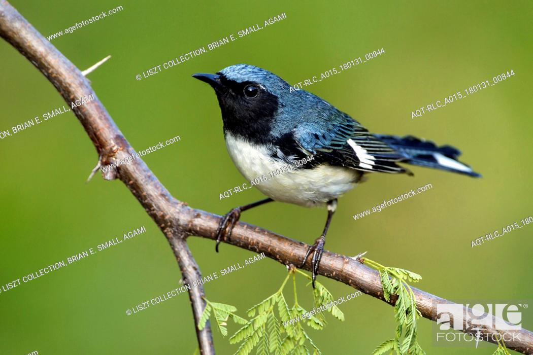 Stock Photo: Black-throated Blue Warbler, Setophaga caerulescens.
