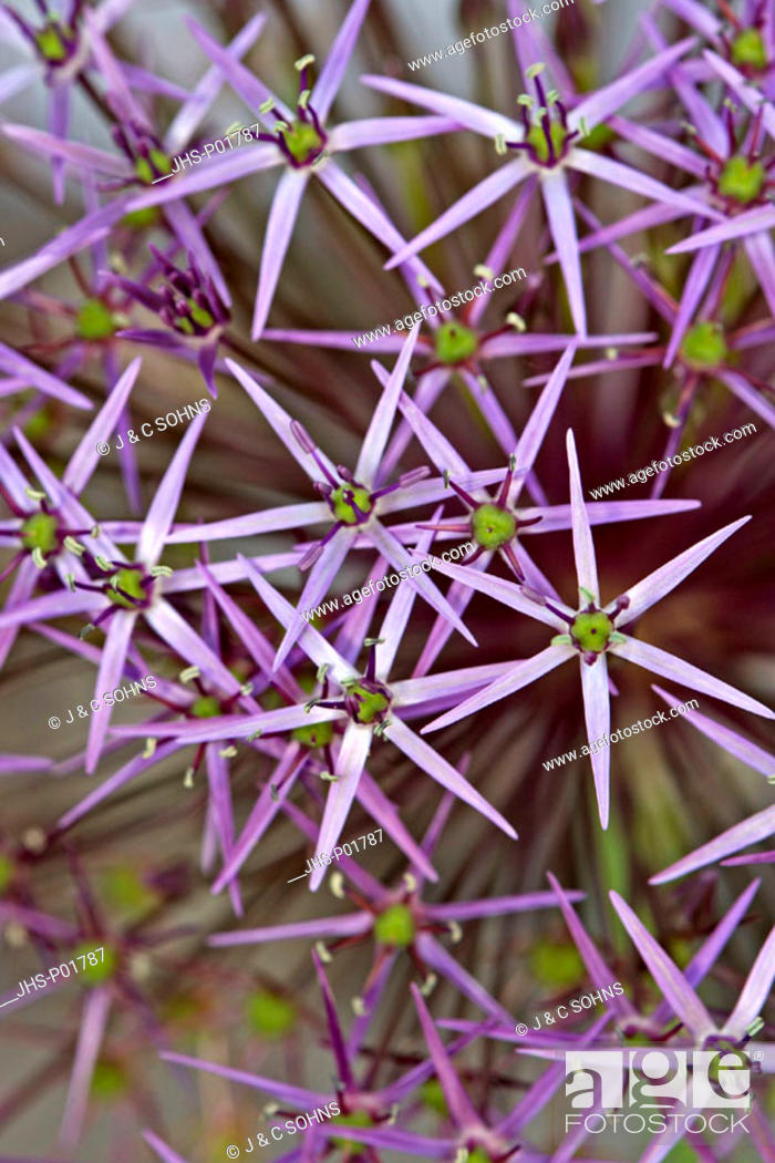 Stock Photo: Star of Persia, Allium christophii, Germany, bloom.