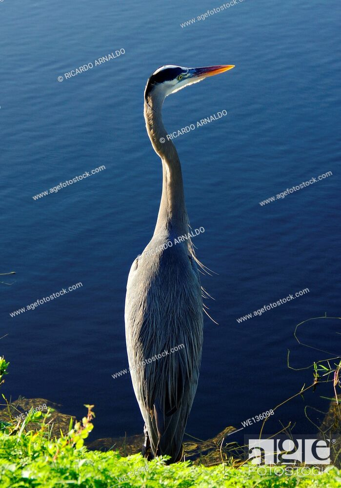 Stock Photo: Blue Heron on the prowl.