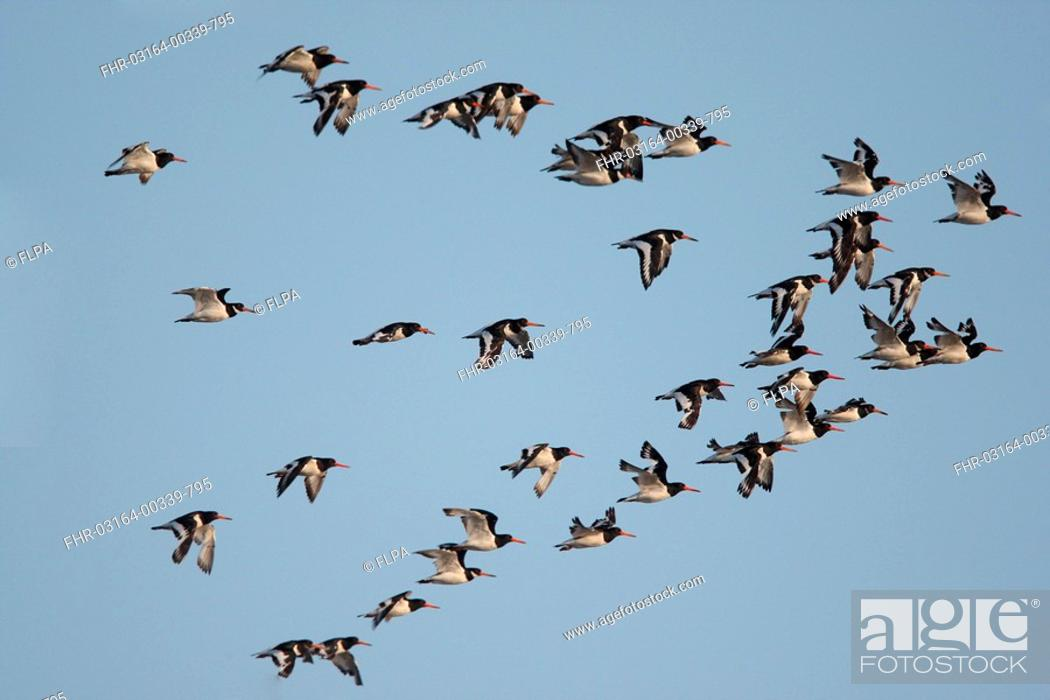 Stock Photo: Eurasian Oystercatcher Haematopus ostralegus flock, in flight, Norfolk, England.