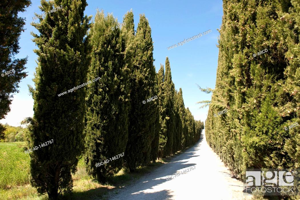 Stock Photo: cypress avenue, cypresses, Tuscany, Italy, Europe, Cupressus sempervirens,.