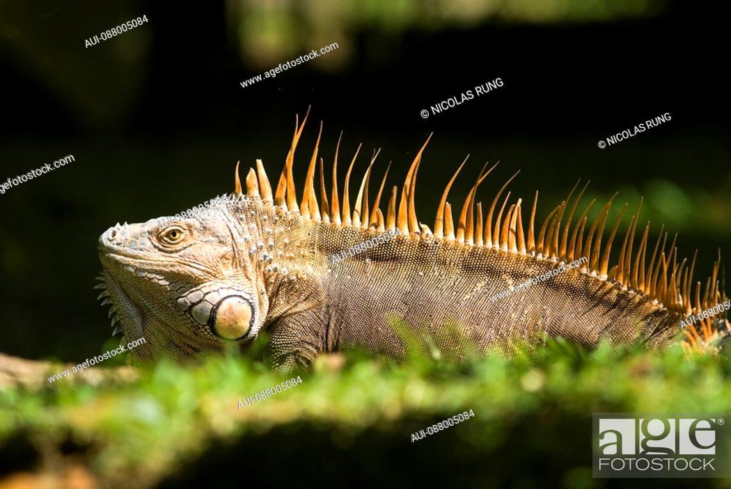 Stock Photo: Green Iguana male in love - Tortuguero.