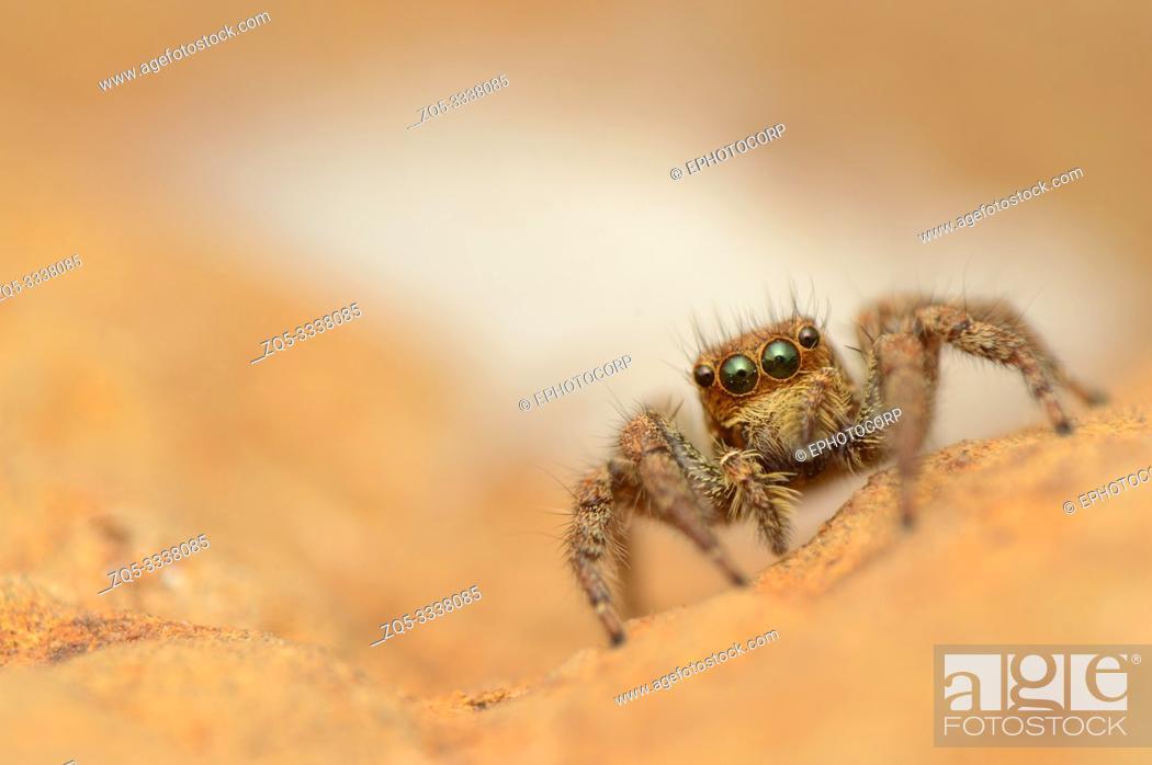 Stock Photo: Jumping spider, Plexippus paykull, female, Satara, Maharashtra, India.