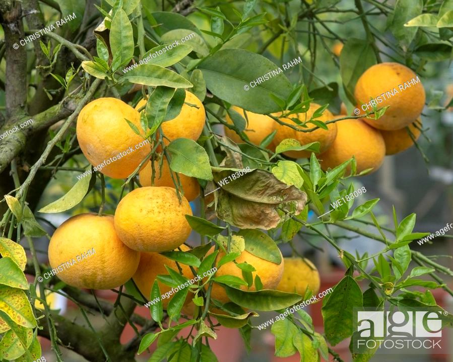 Stock Photo: Abundance of oranges on tree closeup in Mallorca, Spain.